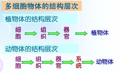 多细胞生物体的结构层次
